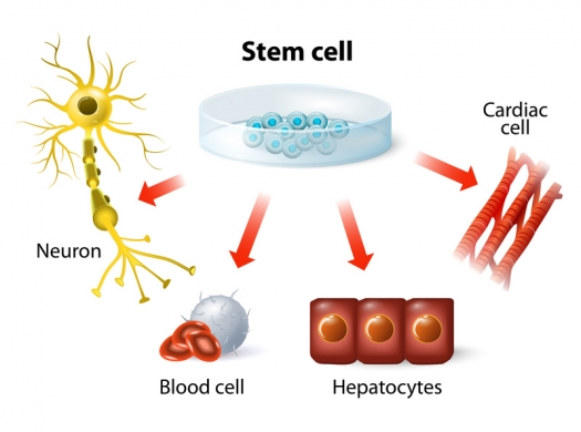 Illustration shows stem cells can become neurons, blood cells, and other cells