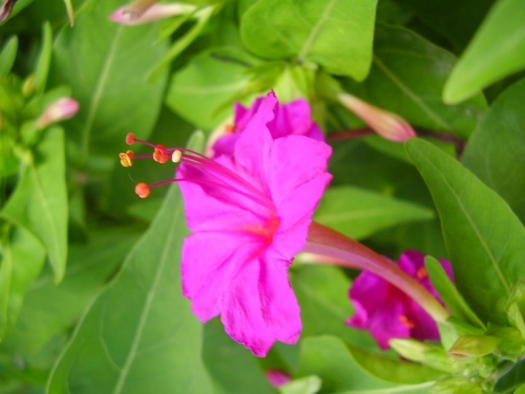 Mirabilis jalapa bright pink flower and green leaves