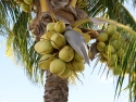 coconuts in tree
