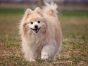 White and tan pomeranian dog
